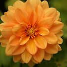 Peach Dahlia by crystalseye