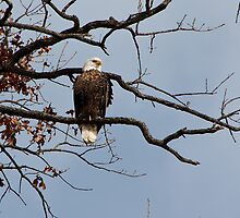 Eagle out on a Limb by Carol Bock