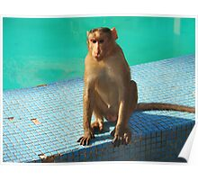 Monkey at pool  Poster