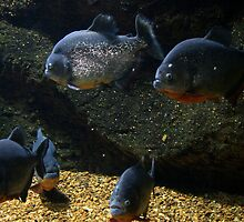 piranhas by iannarinoimages