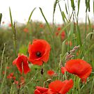 Flanders Poppies by SweetLemon