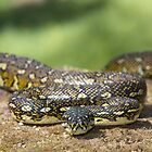 Diamond Python by Ken Griffiths