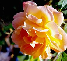Sunrise within a rose by ♥⊱ B. Randi Bailey