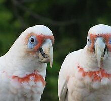 corellas by betty porteus