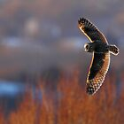 Owl at sunset by Rob Lavoie