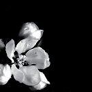 Apple Blossom B&W by Karen  Betts