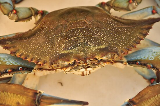 Big Blue Claw Crab, As Is by Kim McClain Gregal