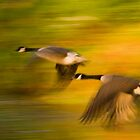 Canada Geese in Flight at Croome Park by Cliff Williams