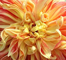 Brilliant Orange and Yellow Dahlia by Denice Breaux