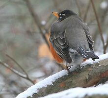 Robin on Snow-covered Branches by Laurel Talabere