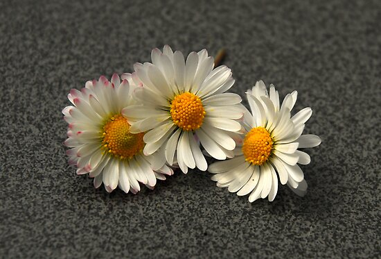Little Daisies by vbk70