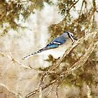 Blue Jay by angelandspot