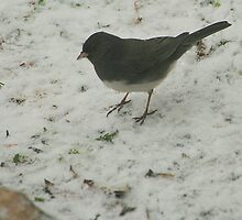Slate-colored Junco by Laurel Talabere