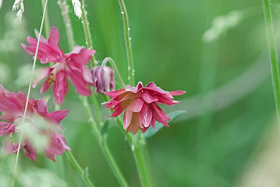 Double Flowered Aquilegia by Mike Oxley
