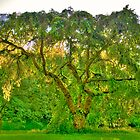 """Great Old Tree - Seattle Arboretum"" by Whitney Mason"