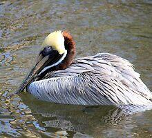 Brown Pelican by AuntDot