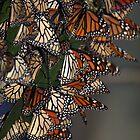 Migrating Butterflies by CarolM