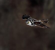 Northern Hawk Owl On The Dark Side by Gary Fairhead