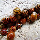 Ladybug-a-palooza by Jason Samfield