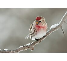 Common Redpoll on frosted branch. Photographic Print