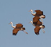 012211 Sandhill Cranes by Marvin Collins