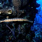 Trumpetfish and Divers, Nassau, Bahamas by Shane Pinder