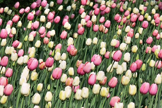 Pink &amp; White tulips by PhotosByHealy