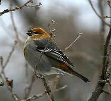 """ Pine Grosbeak - female  "" by fortner"