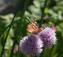 Butterfly on Chive by Jane Dickson