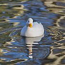 Duck in Reflection by relayer51
