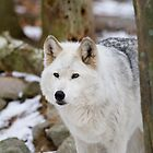 White wolf by John Banks