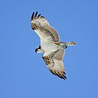 Ponce Osprey 1 by Deborah  Benoit