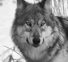 Grey Wolf by peaceofthenorth