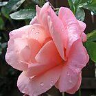 Dreamy Rose by BlueMoonRose