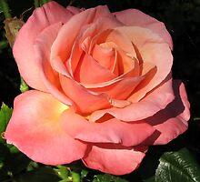 Sunkissed Orange Rose in Semi Profile by BlueMoonRose