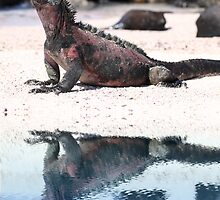 Marine Iguana III by Paul Duckett