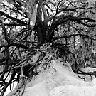 Live Oak by David Lee Thompson