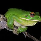 White-lipped Tree Frog Profile by naturalnomad