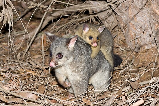 Brush-tailed Possum with baby by Ken Griffiths