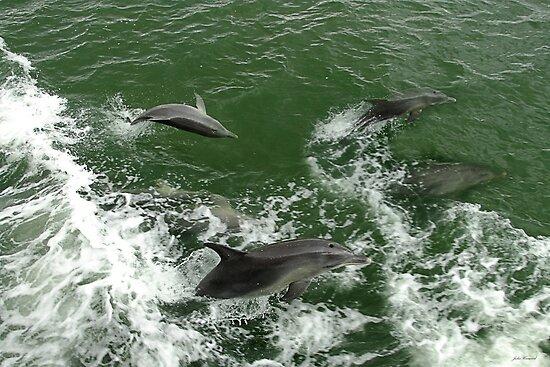 Dolphins at play by Julia Harwood