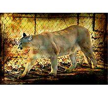 Florida Panther Photographic Print