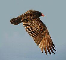 Turkey Vulture by Paulette1021