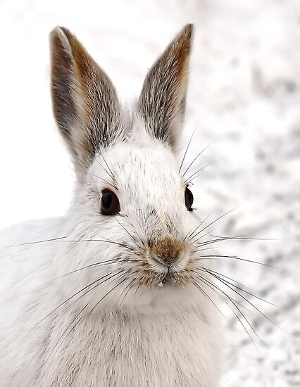 Snowshoe Hare closeup by Jim Cumming