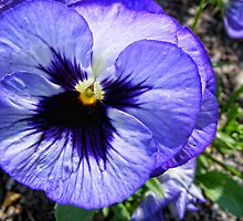 Blue Pansy by barnsis