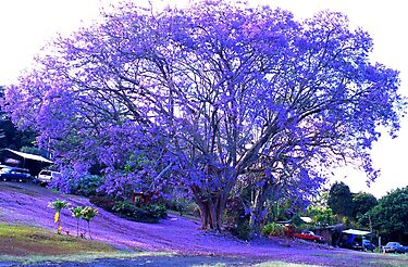 100 year old Jacaranda tree, Kona by Lee Gunderson