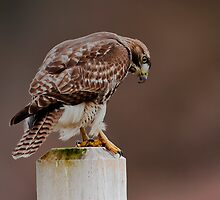 Hawk on a Fence Post by David Friederich