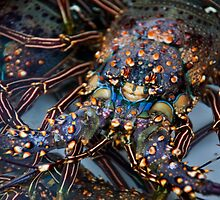 Spiney Lobster by phil decocco