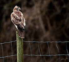 Hawk on a Farm Fence by David Friederich