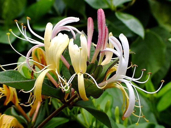 Honeysuckle (Lonicera Brownii) by Gabrielle  Lees