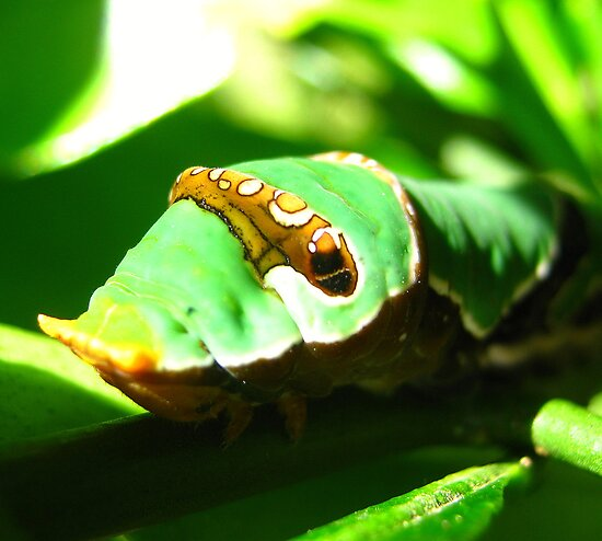 Orchard Swallowtail Caterpillar 2 by Vanessa Barklay